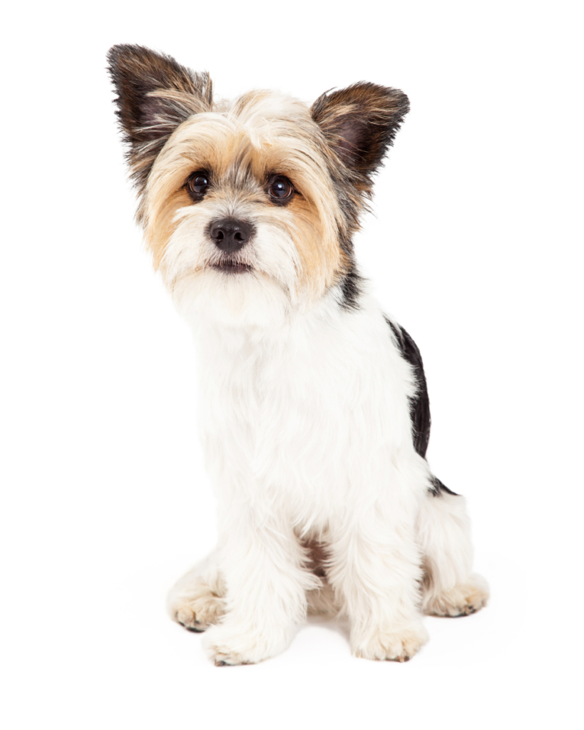 A fine example of a shorkie, shih tzu and Yorkshire terrier mix.
