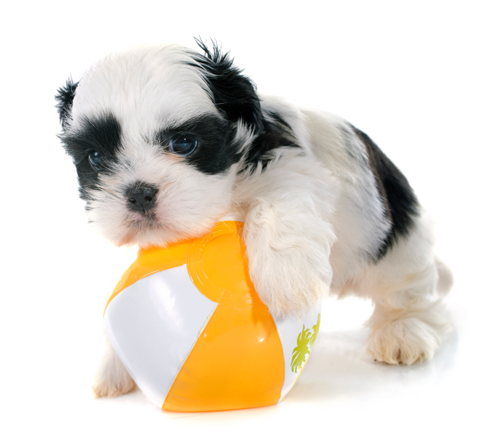 A teacup shih tzu puppy plays with his favorite beach ball.