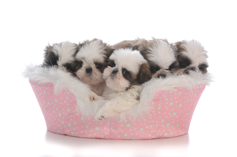 A litter of five small puppies.