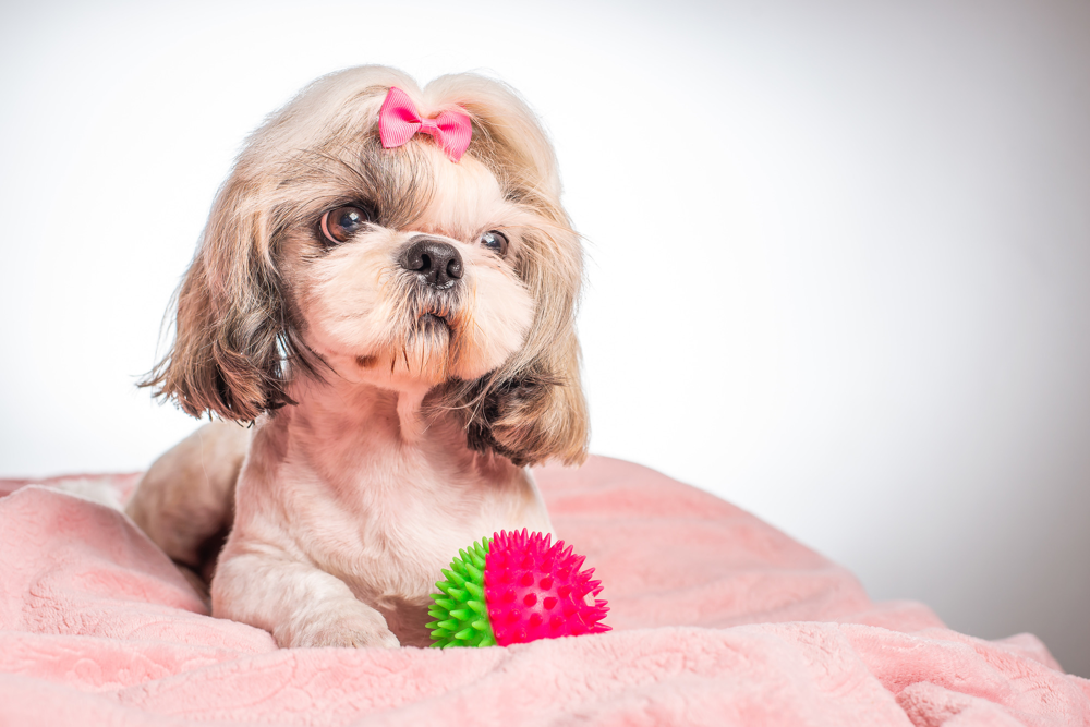 A teacup shih tzu sporting a puppy cut lies on a pink blanket with a bobbly ball.
