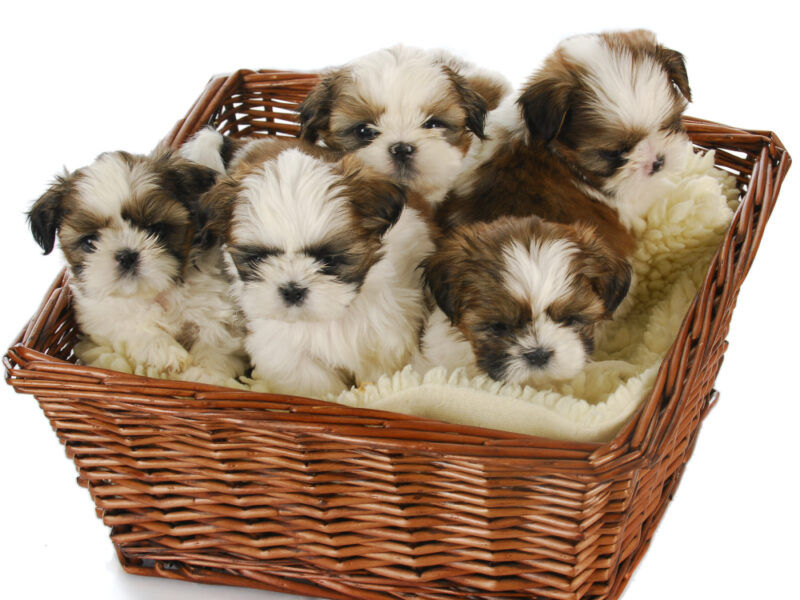 When Do Shih Tzu Puppies Stop Growing?