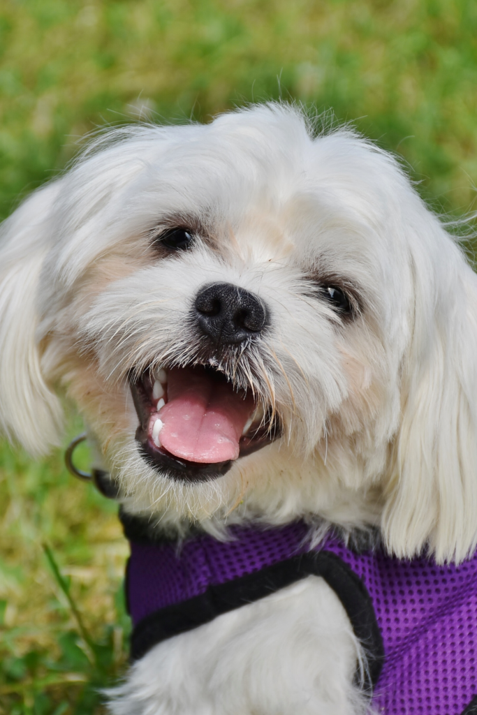 A shih tzu wearing a mesh vest harness.