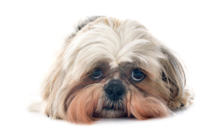 An anxious-looking shih tzu.