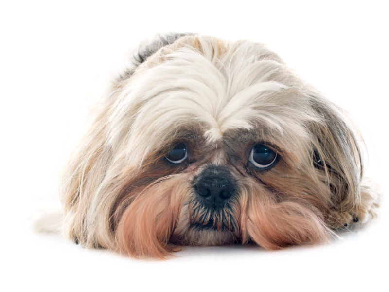 Shih Tzu Separation Anxiety – how to cope