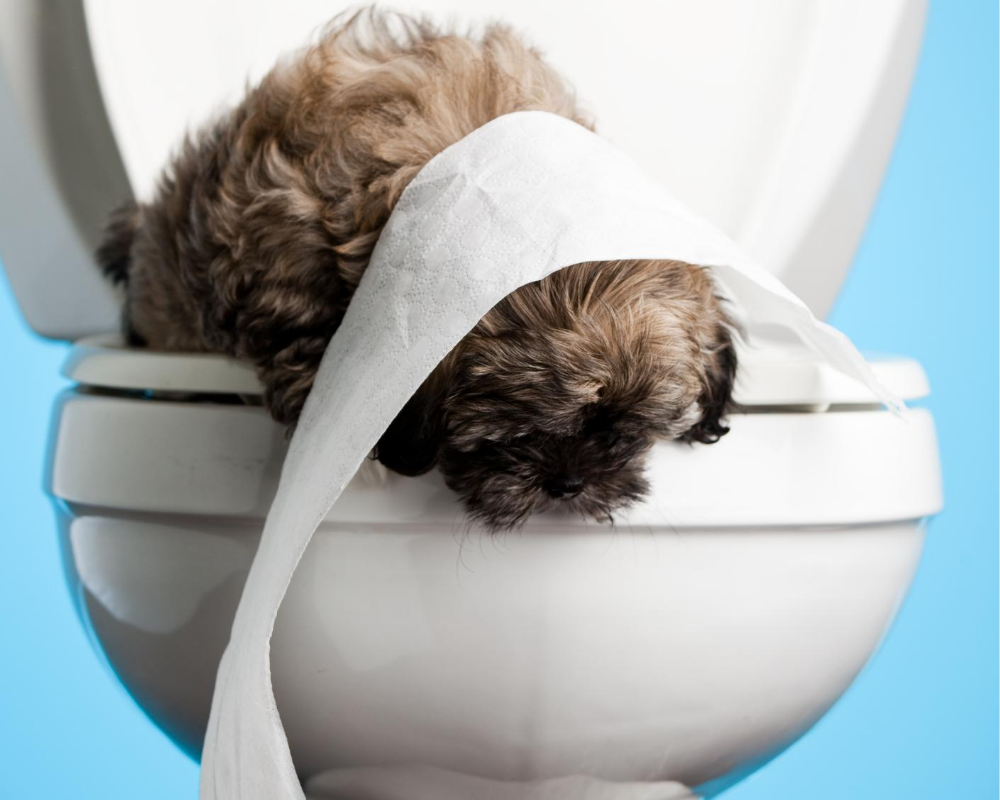 Extreme shih tzu potty training!