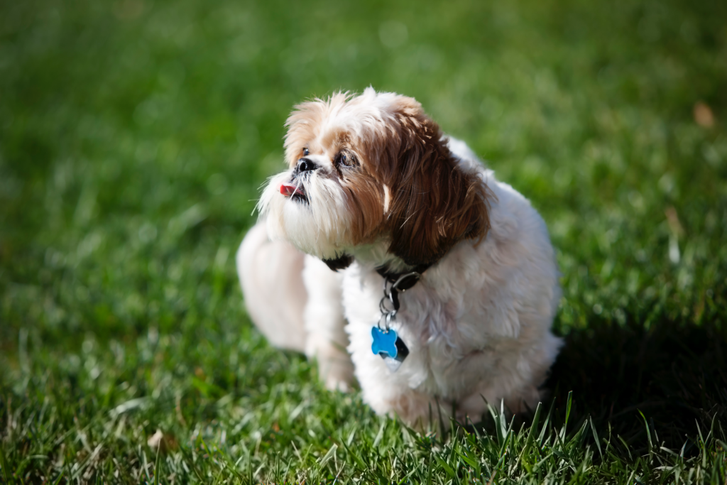 How to prevent a shih tzu from being aggressive towards other dogs.