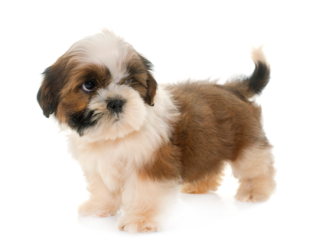 A shih tzu puppy lacking in social skills.