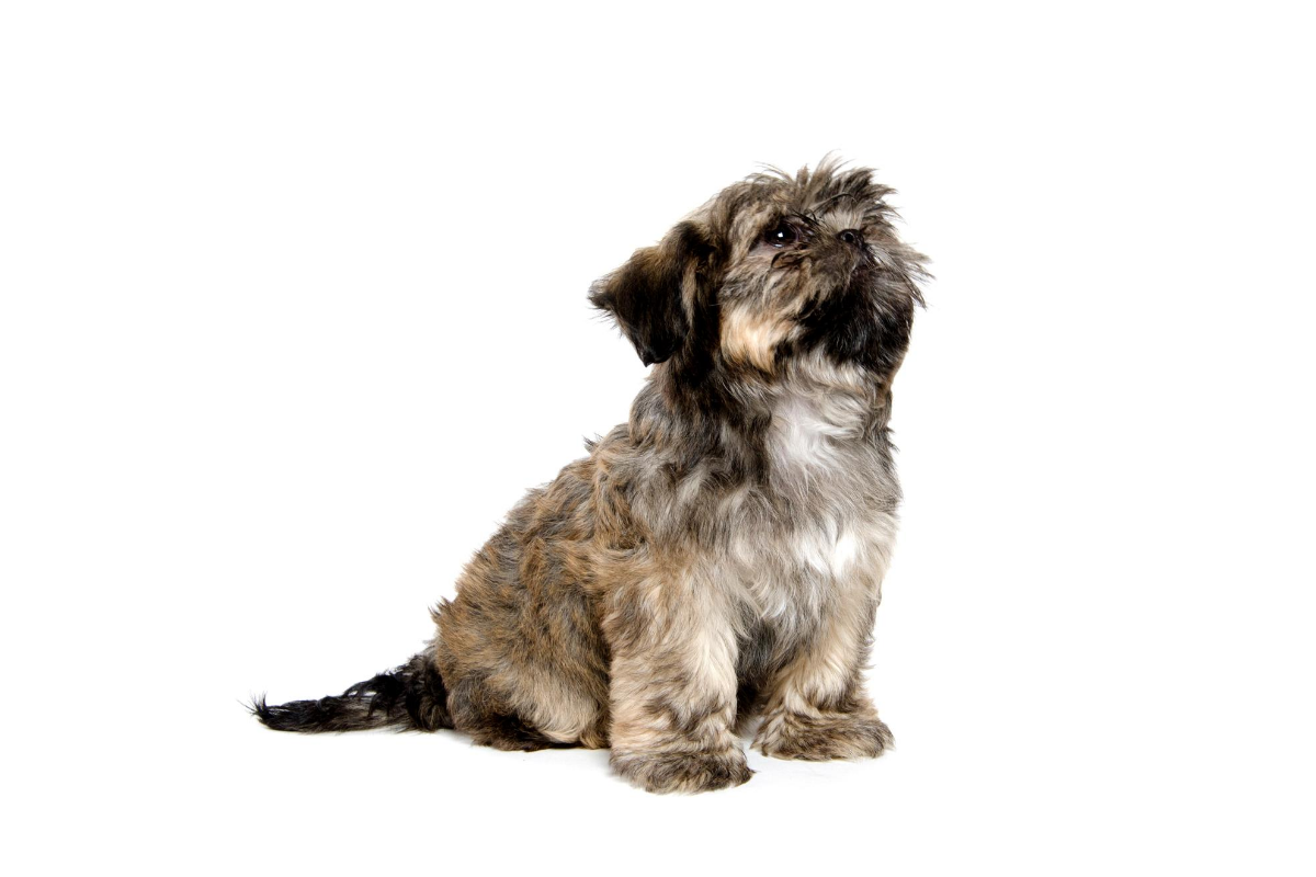 How To Train a Shih Tzu Puppy Not To Bark