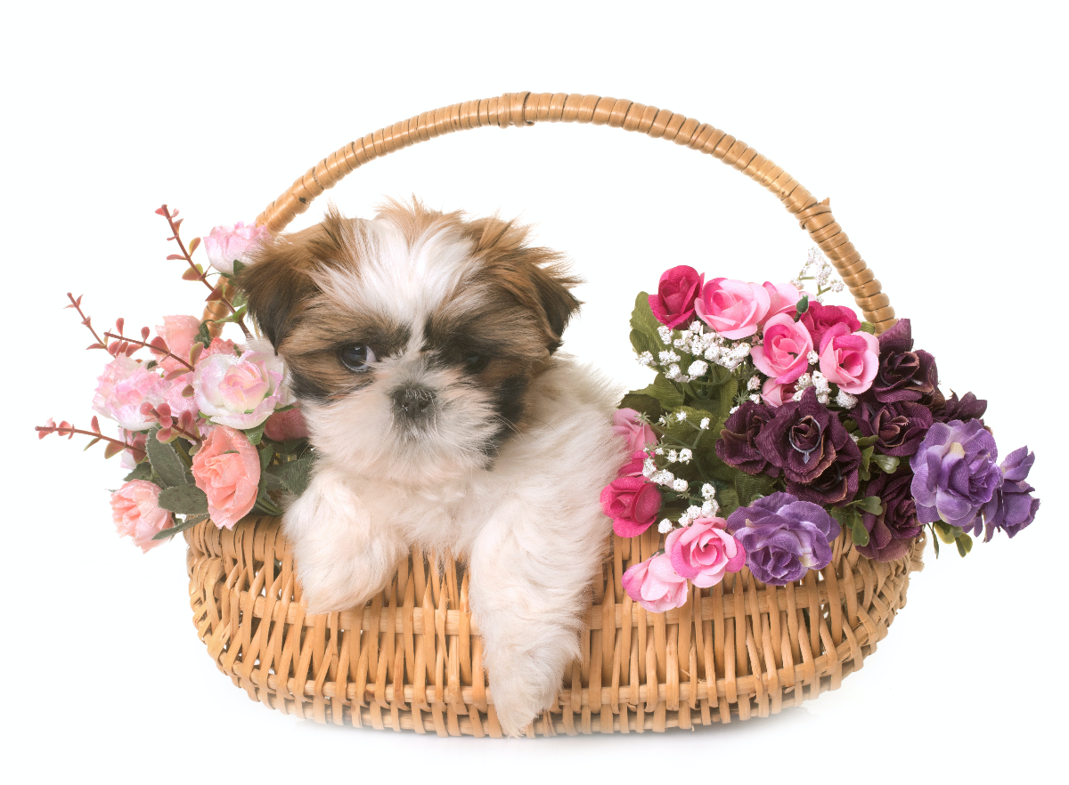 Should I Get A Shih Tzu? – the bare facts you must consider