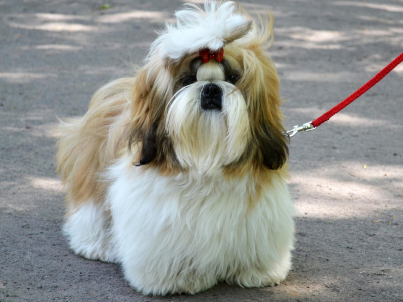 How Often Should You Walk a Shih Tzu?