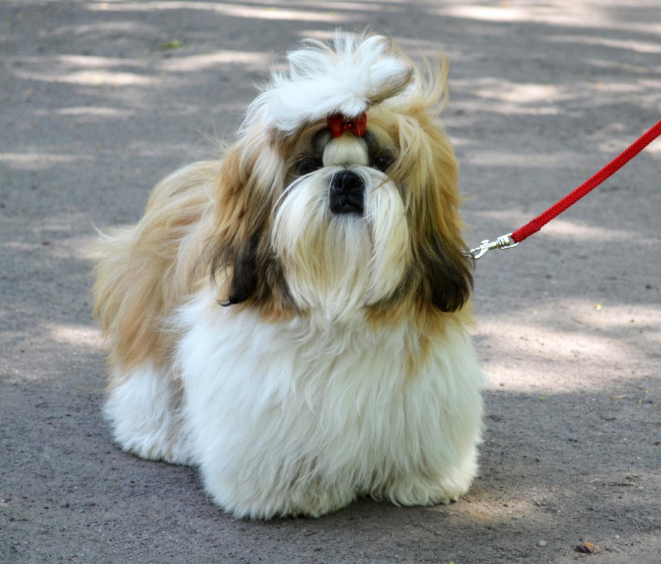 A shih tzu out for a walk.