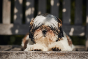 Spotting shih tzu anxiety symptoms.