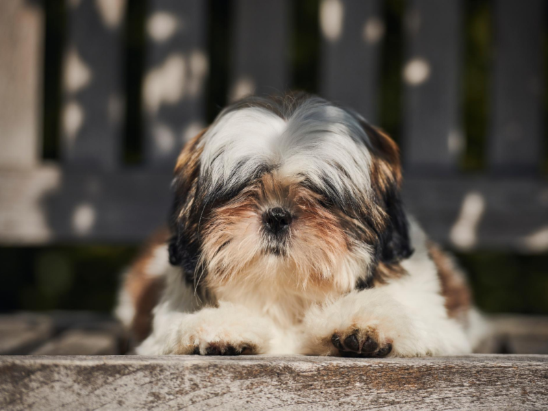 Shih Tzu Anxiety Symptoms – how to spot them