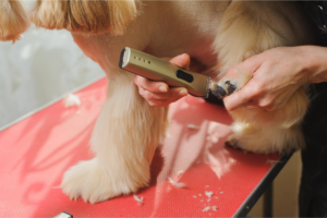 Trim shih tzu paws like a professional.