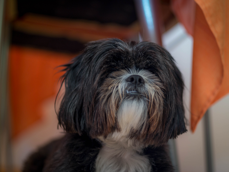Old Shih Tzu? – How To Care For Yours