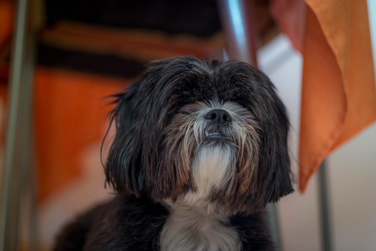 An old shih tzu sporting a fine, two-tone brown and white coat.