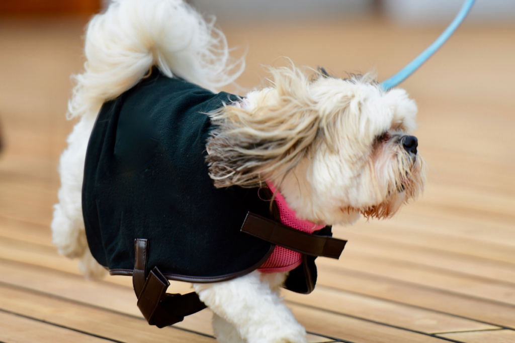 An old shih tzu out for a familiar walk.