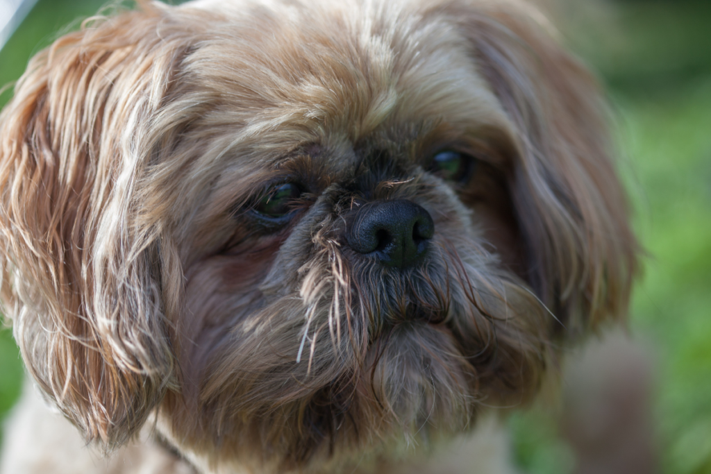 A senior shih tzu's hearing and eyesight may not be what it was.