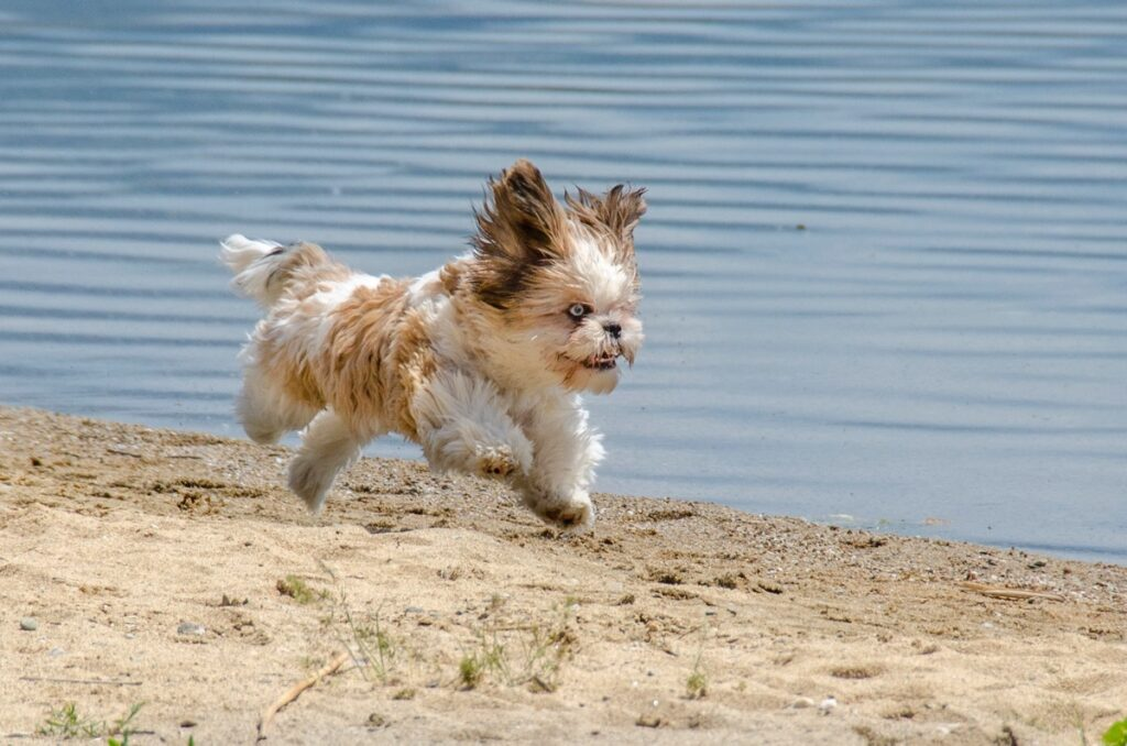A shih tzu puppy running on the beach. It's late in the evening and it's over one hour since he last ate.