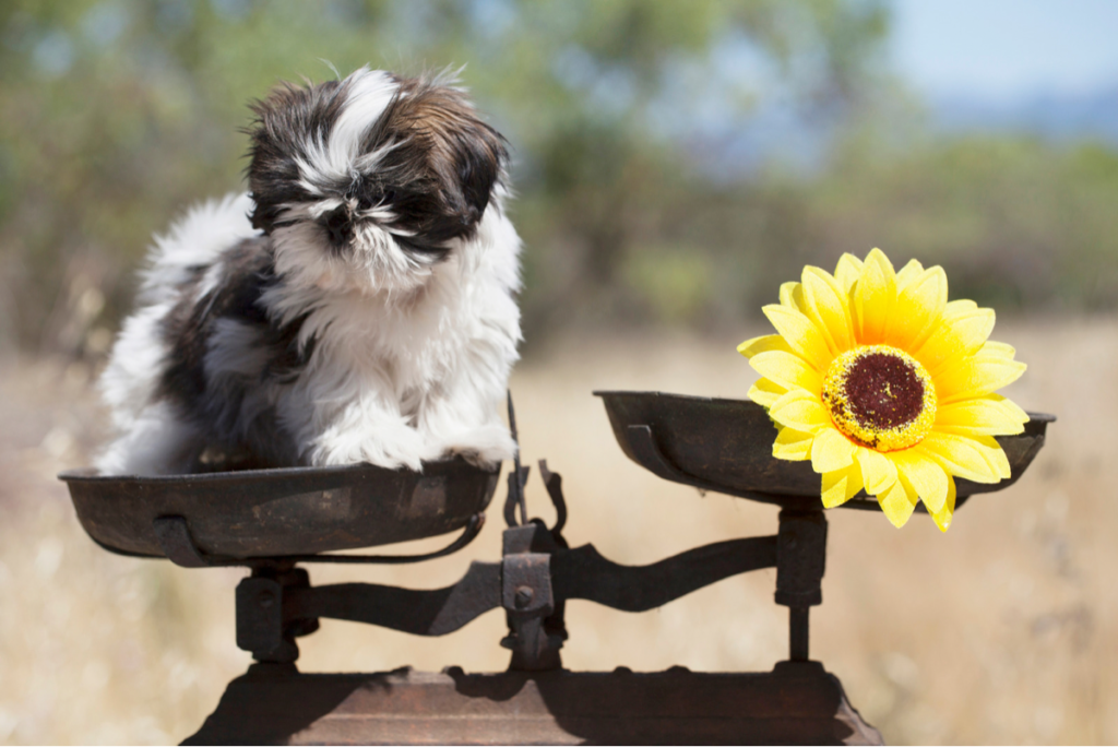A shih tzu on the scales checking for weight issues.