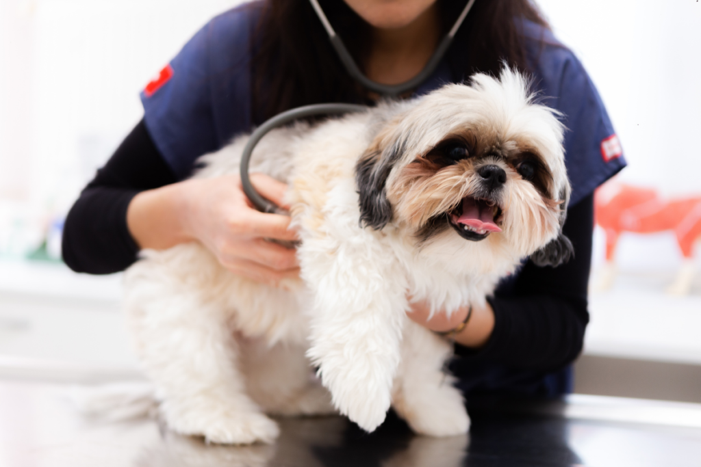 A vet carrying out an examination of a shih tzu.