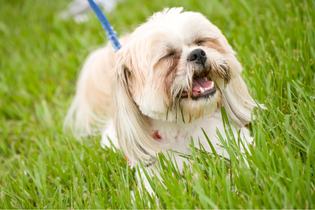 Stand in the center of the designated area and let your shih tzu pick his spot.