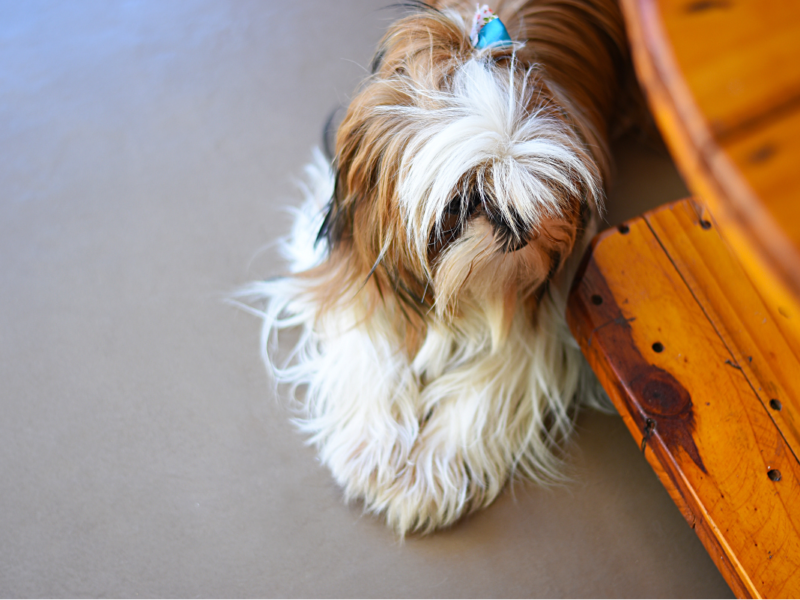 Shih Tzu Peeing In House – Why And What To Do