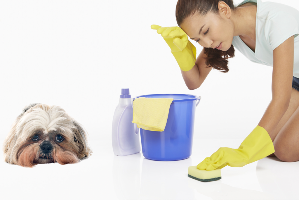 Thoroughly clean marked areas with an enzyme cleaner to ensure your shih tzu isn't tempted to pee there again.